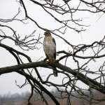Coopers Hawk watching the bird feeders at the Inn