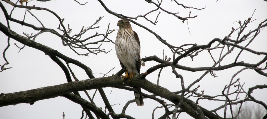Photo of Hawk in Winter