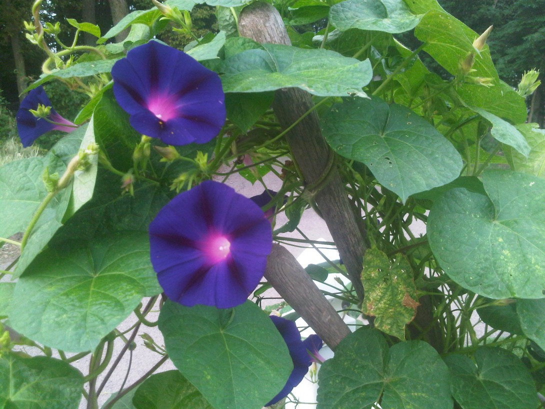 Morning Glories with antique tool handles