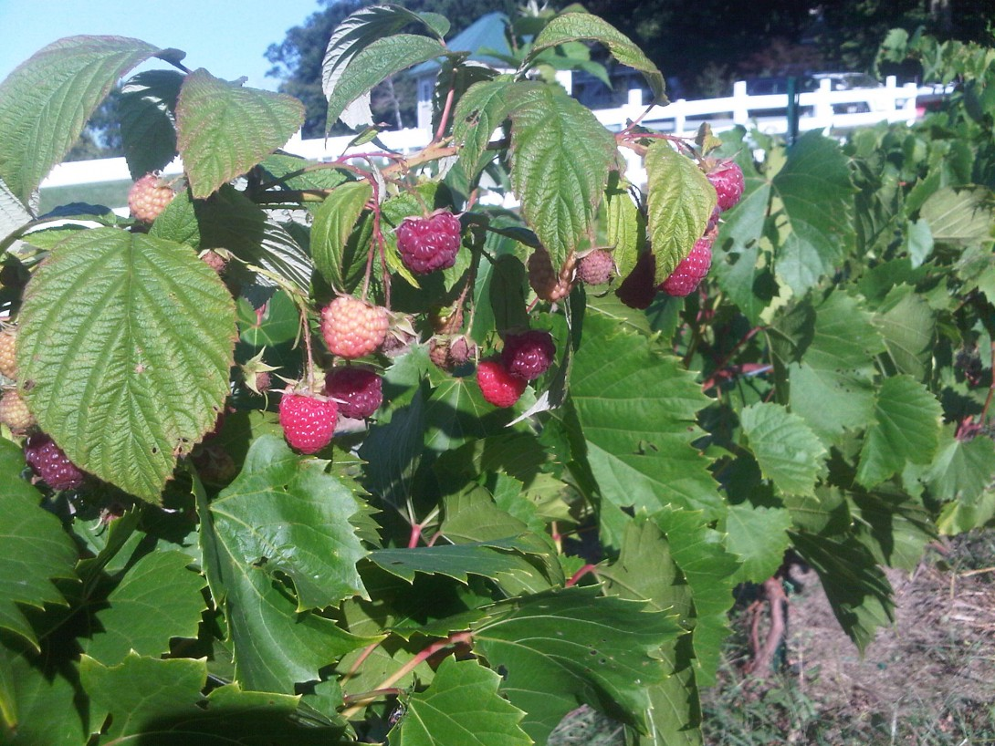 Red Raspberries ready to pick