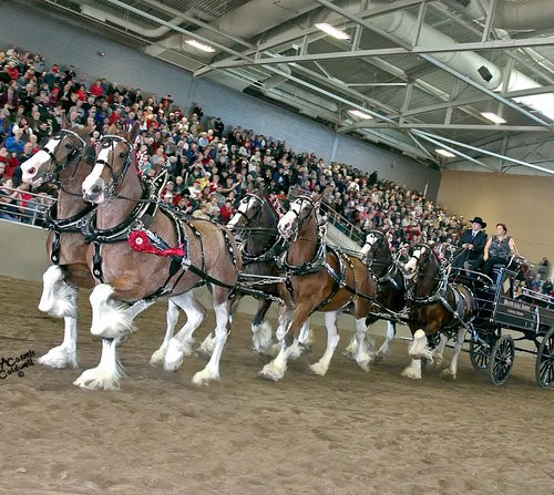 World Clydesdale Show Exhibit