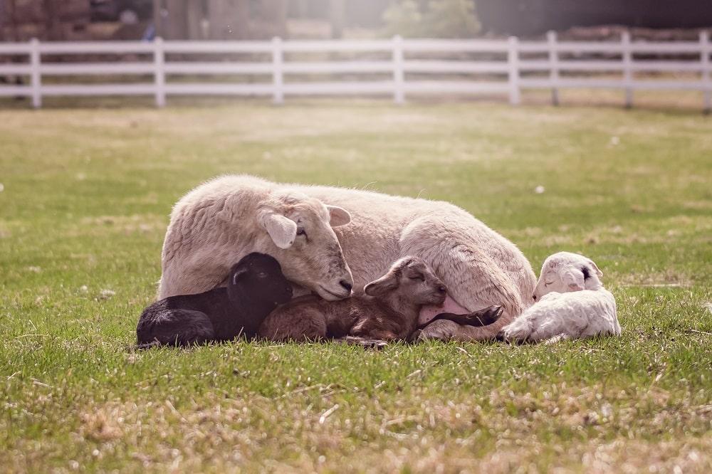 Mom ewe with lambs